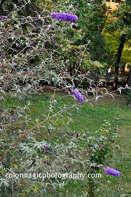 Butterfly bush with flowers-Buddleja Bdavidii