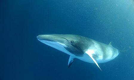 Singing Whale Sounds 8Hrs, for Deep Relaxation, Sleep or Stress Relief Minkewhale1