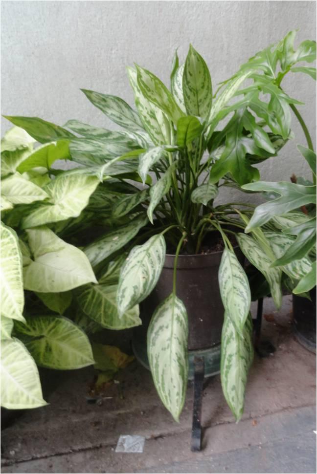 Vida a lo verde living in green octubre 2011 - Plantas de hojas grandes y verdes de exterior ...