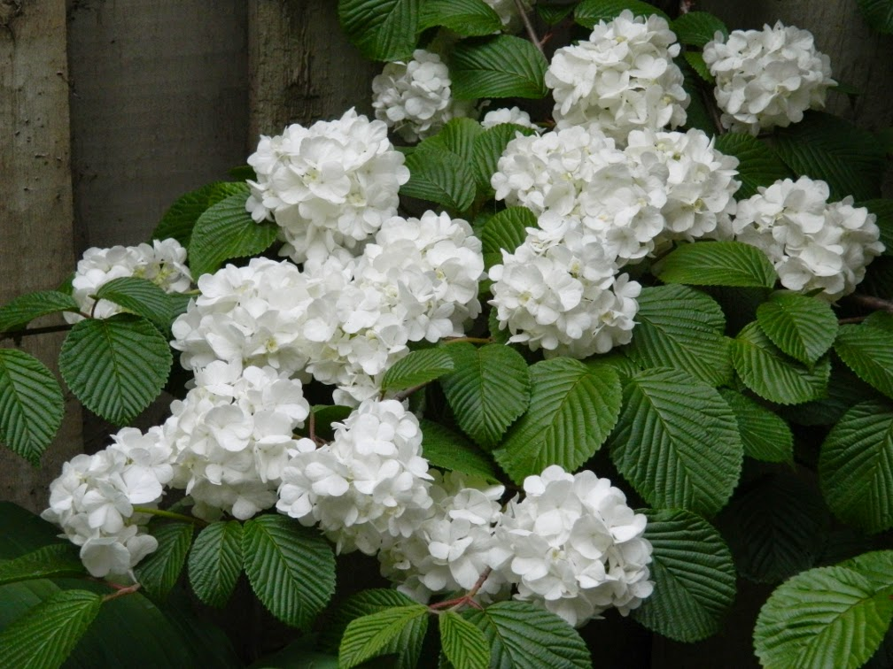 Viburnum plicatum Popcorn doublefile viburnum by garden muses-not another Toronto gardening blog