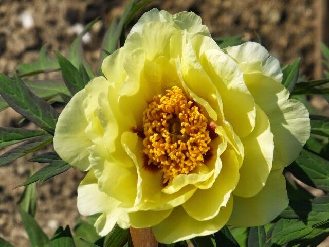 黄牡丹はやや遅く咲く・・・。