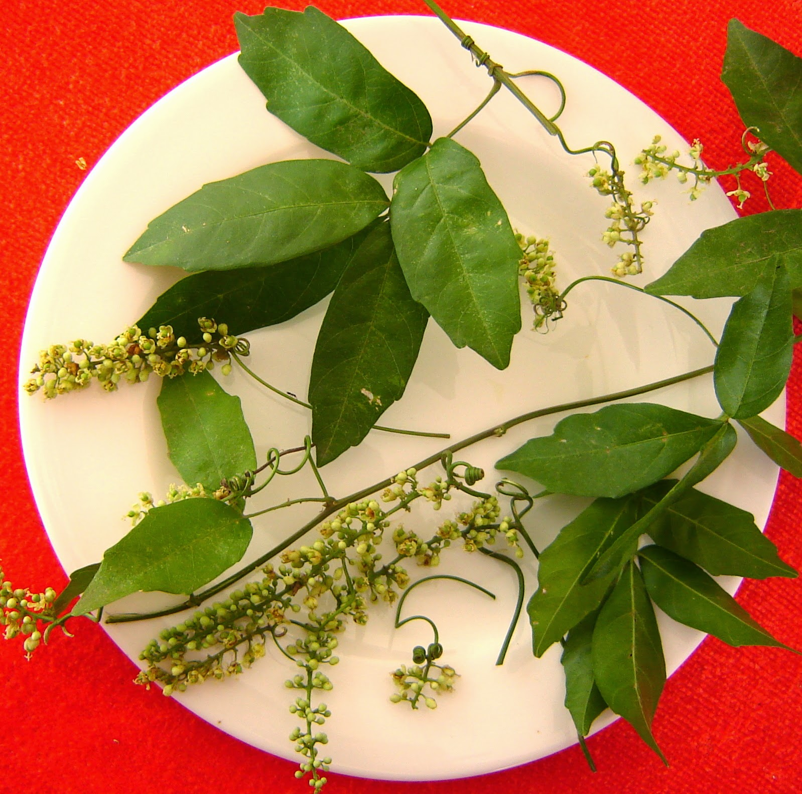 V e r d e c h a c o abril 2011 for Planta venenosa decorativa