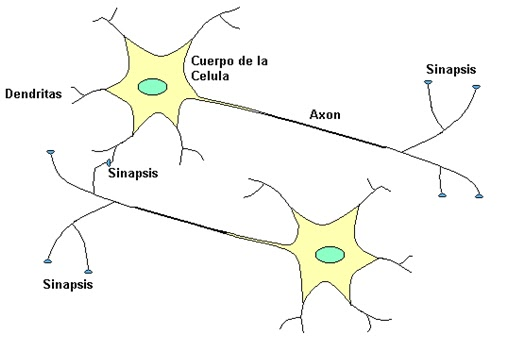 Redes Neuronales: Funcionamiento de una Neurona Biologica