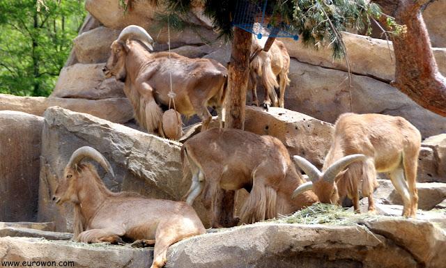 Cabras montesas en el parque de atracciones Everland