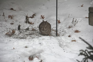 cottontail feeding under bird feeder