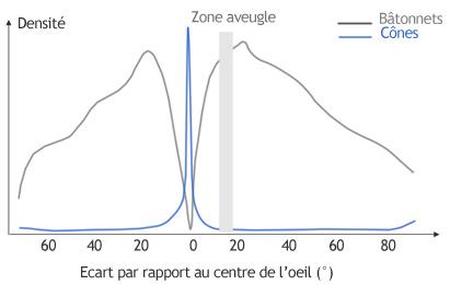 densite batonnets cones oeil