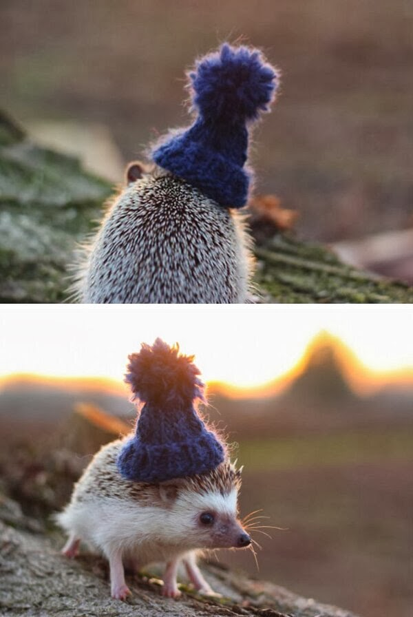 Funny animals of the week - 14 February 2014 (40 pics), hedgehog wears wool hat