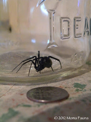 Black widow spider (Latrodectus spp.)