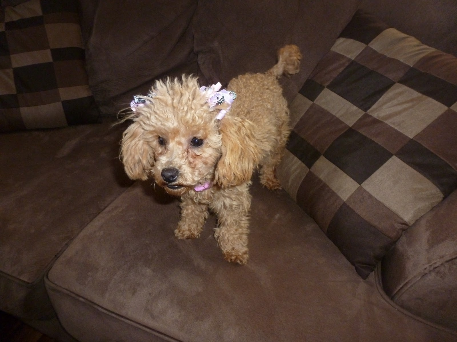 Poodle Weight Michele's Maltipoos ~N...