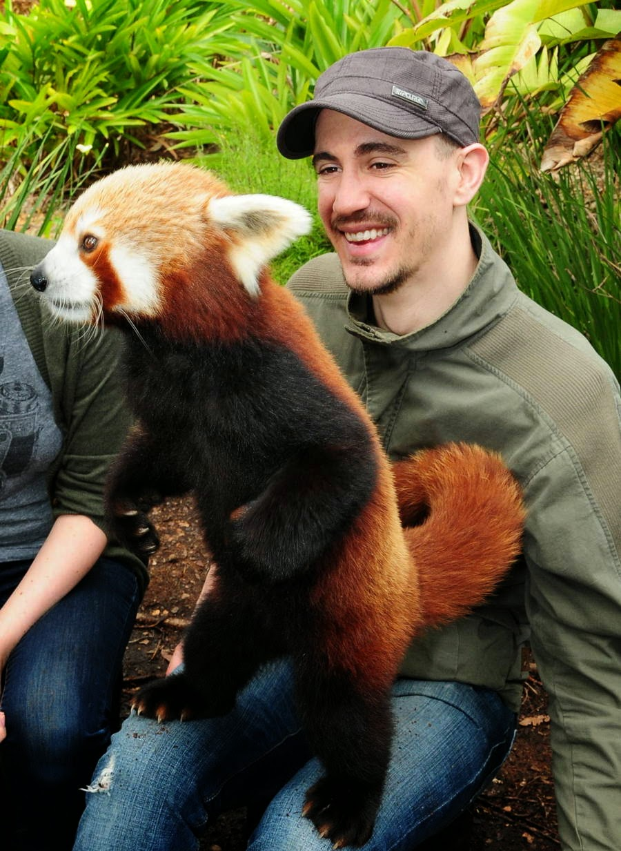 40 Adorable red panda pictures (40 pics), red panda stands on man's lap
