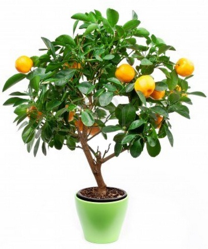 How to grow Small Tangerines Trees in pots