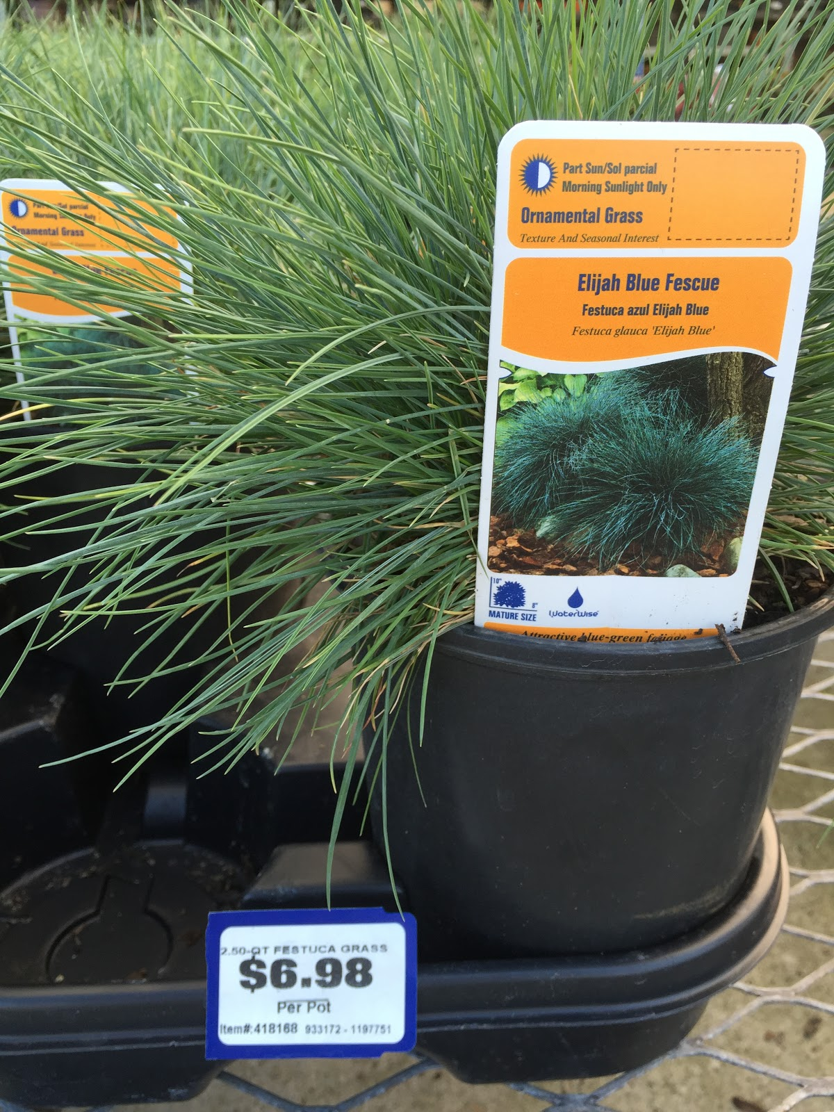 blue fescue at lowes