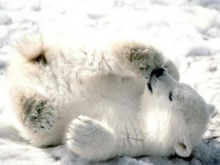 Playful Baby Polar Bear Sliding On the Ice.  Free Source Photo. No Copyrights Claimed on Photo by Worship Melodies or Carla Cooper