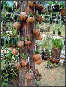 Orquídea plantada Purunga...