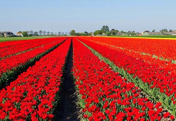 Fotos De Flores Lindas Vermelhas  fotos de rosas vermelhas lindas