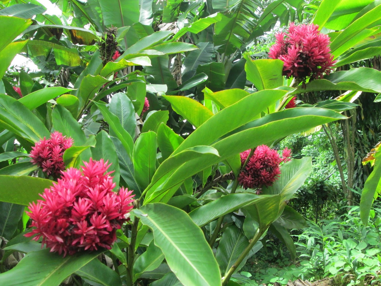 Garden notes from hawaii red ginger alpinia purpurata here is a photo taken in fiji of the tahitian type of red ginger that develops big compounded flowers izmirmasajfo