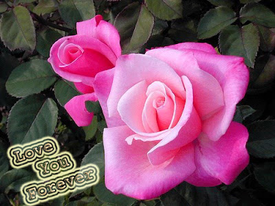 i love you pink rose