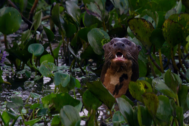 A photograph of a giant river otter taken in the Pantanal in Brazil