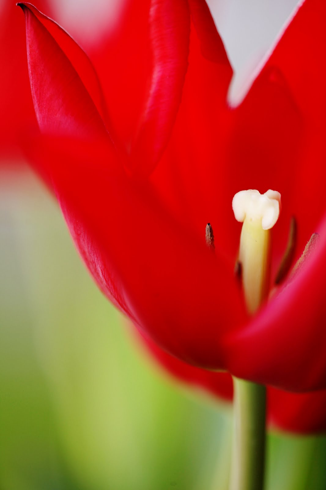 among the saguaros: if you want to grow tulips in the ...