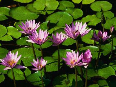Bunga Hias Teratai Ungu