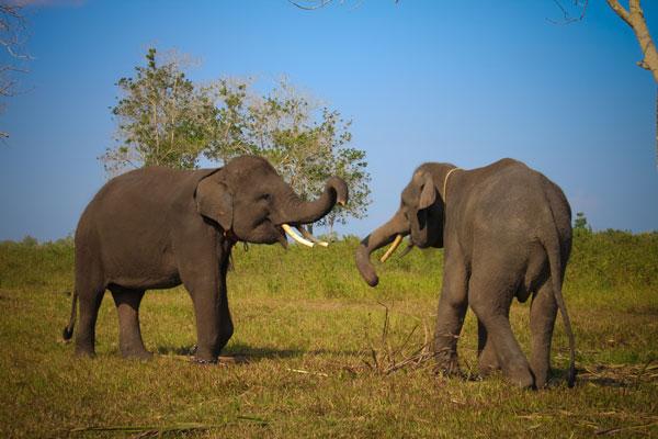 Gambar Gajah di Taman Nasional Way Kambas, pantai, gunung, wisata keluarga, candi, pemandangan, Tempat Wisata Terindah di Indonesia