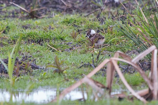 Kievit kuiken - Northern Lapwing chick - Vanellus vanellus