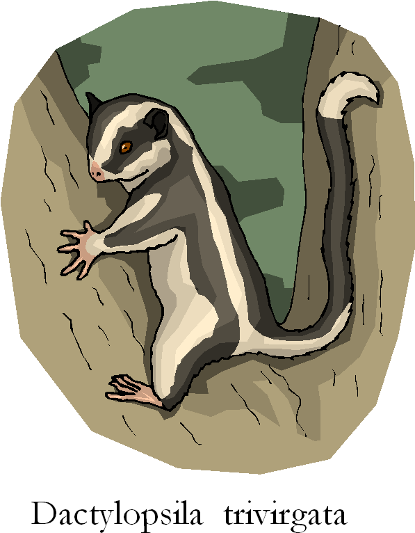 Dactylopsila Trivirgata Free Animal Clipart