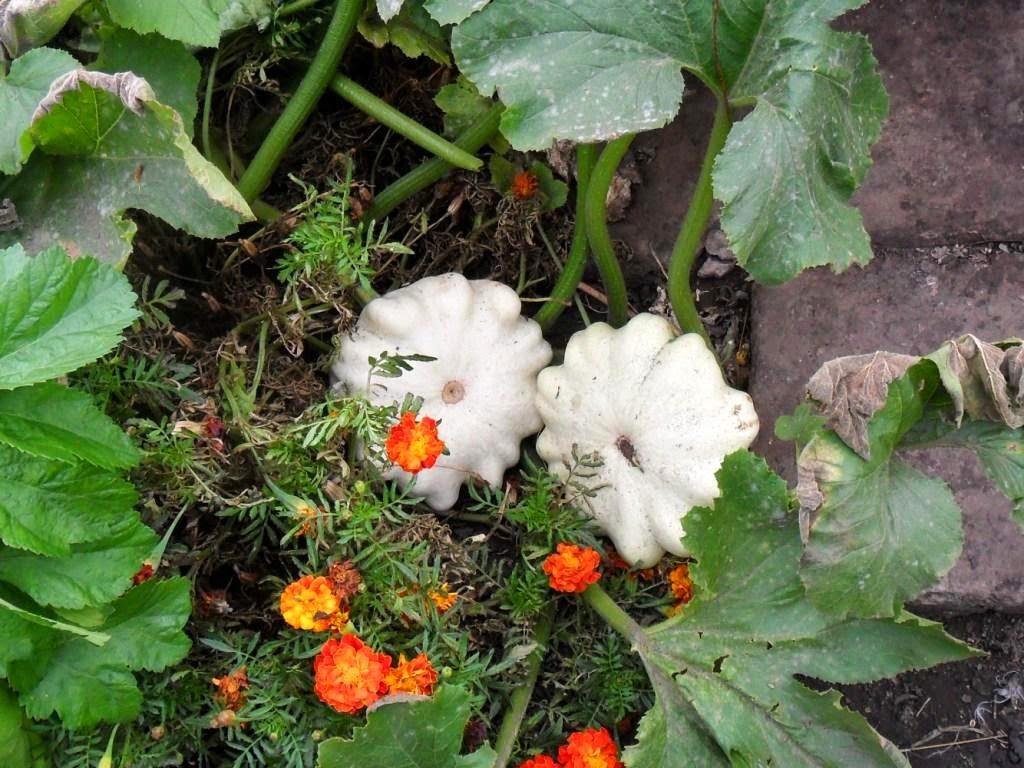 Патиссоны, оставленные для зимнего хранения