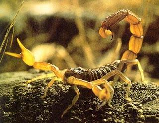 Escorpión o alacrán gringo