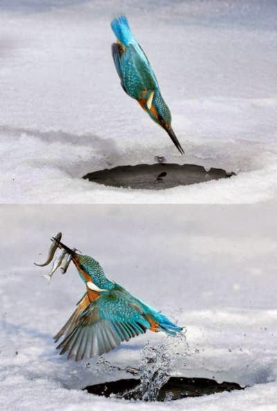 Hummingbird hunting fishes from small pond of snow water