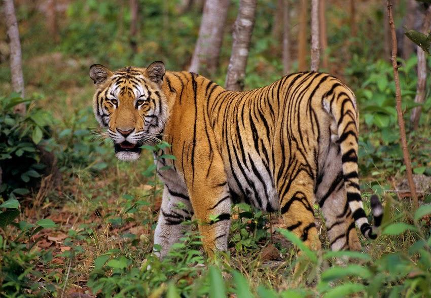 Harimau Spesies Kucing Terbesar Yang Hampir Punah