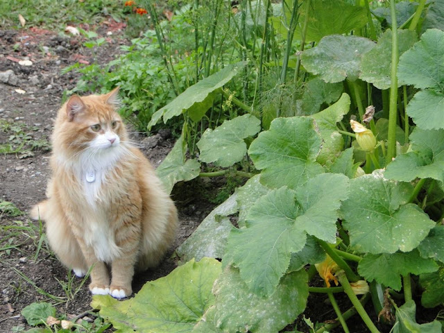 Murchyk the cat is guarding our garden