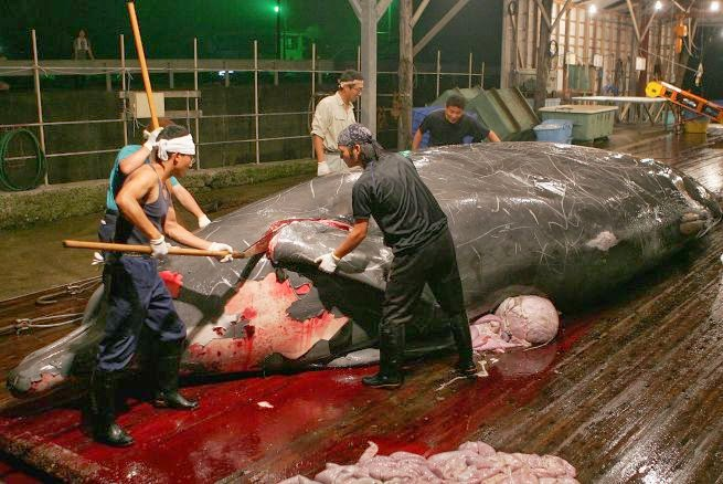 corte internacional de justicia ordena a japon detener caza de ballenas