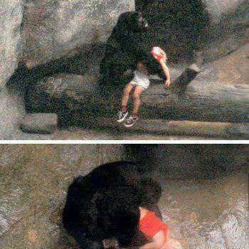 الغوريلا التي انقدت الطفل في حديقة الحيوانات