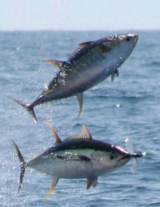 tuna jjbjokman.blogspot.com