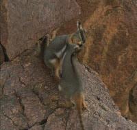 Blog Safari Club, video de el Ualabí rupestre