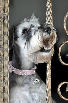 Life Expectancy in Miniature Schnauzer