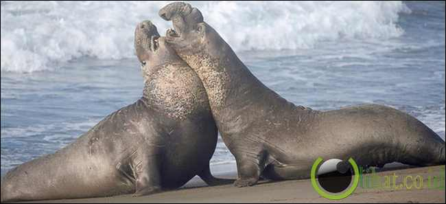 Northern Elephant Seal Bull