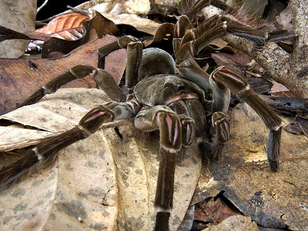 largest spider in the world - photo #48