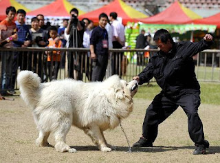 Tibetan Mastiff Training, How to Train a Tibetan Mastiff Dog, Tibetan Mastiff Trainers