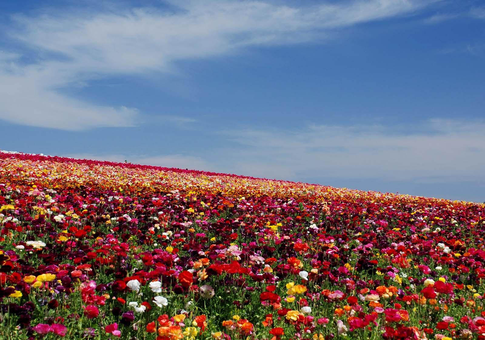 Fields Flowers Beautiful Flowers