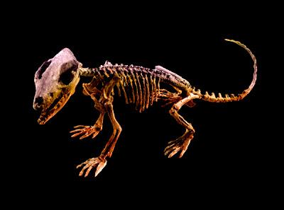 esqueleto de Zhangheotherium