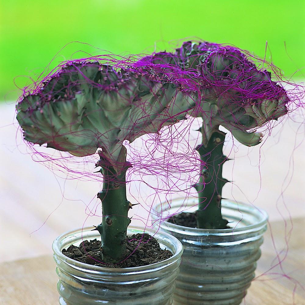 Euphorbia lactea - By Floradania