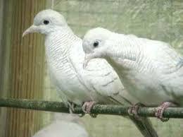 Tips membedakan burung perkutut jantan dan betina