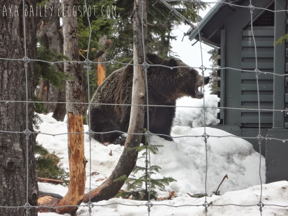 Grizzly bear habitat on Grouse Mountain