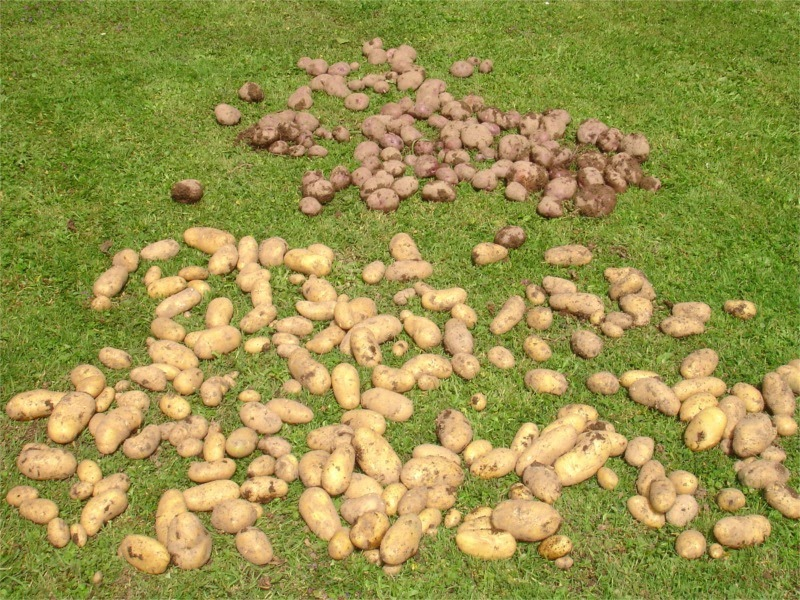 how to know when potatoes are ready to dig