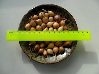 25 февраля, лук-севок на хранении