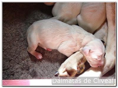Cachorro de dálmata del criadero Cliveal con un día de edad