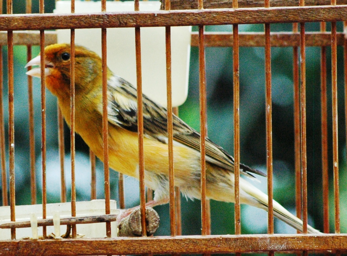 Om Hoby: Cara Beternak Burung Kenari Tahap demi Tahap