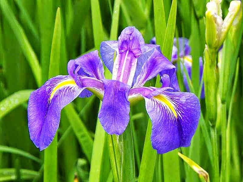 one iris flower